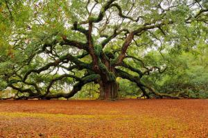 """CUTLINE Master Arborist Michael P. Murphy will be making the short trek from his home in Beaufort for a presentation titled """"In Search of an Angel Oak of Their Own: An Island's Search for Special Trees,"""" to be held next Tuesday at the SCDNR auditorium"""